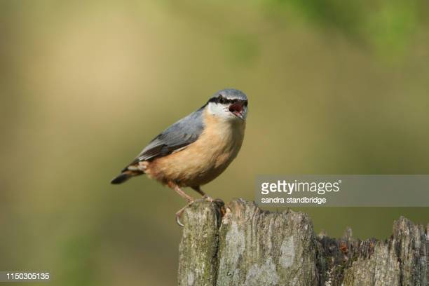 a beautiful nuthatch, sitta europaea, perching on a tree stump in woodland with its beak wide open. - snavel stockfoto's en -beelden