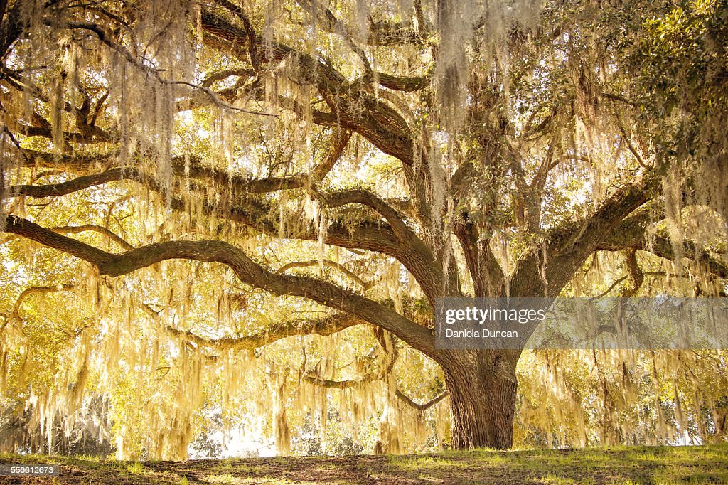 Beautiful Oak Tree : Foto de stock