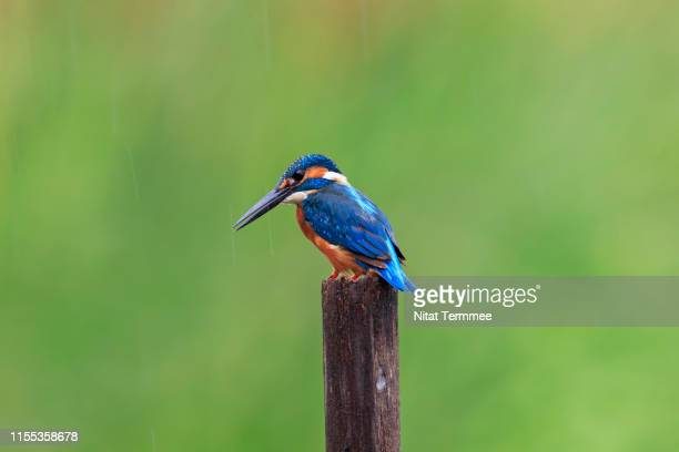 beautiful of kingfisher bird common kingfisher ( alcedo atthis ). found in real nature at central of thailand - カワセミ科 ストックフォトと画像