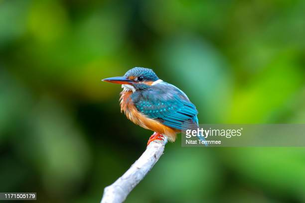 beautiful of kingfisher bird. the common kingfisher ( ‎‎alcedo atthis (linnaeus, 1758)). perching on tree branch. commn passage migrant in real nature of thailand. - mangroves stock pictures, royalty-free photos & images
