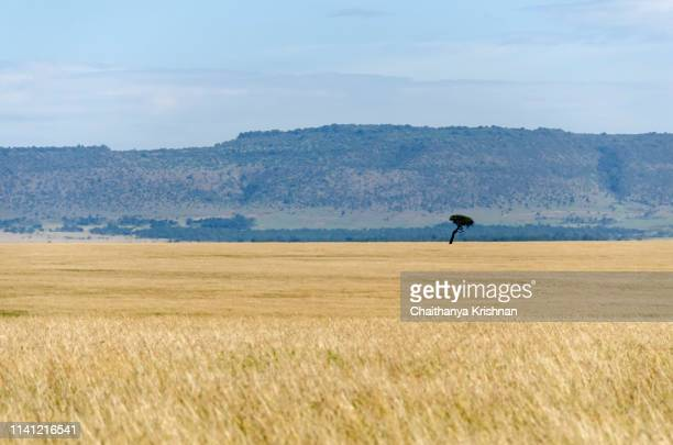 a beautiful of the grasslands from the plains of africa inside masai mara national reserve during a wildlife safari - east stock pictures, royalty-free photos & images