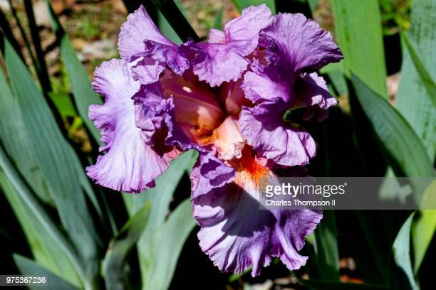 beautiful one - bearded iris stock photos and pictures