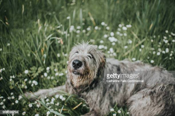 beautiful one year old irish wolfhound - irischer wolfshund stock-fotos und bilder