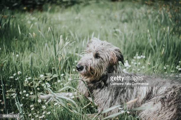beautiful one year old irish wolfhound - アイリッシュウルフハウンド ストックフォトと画像