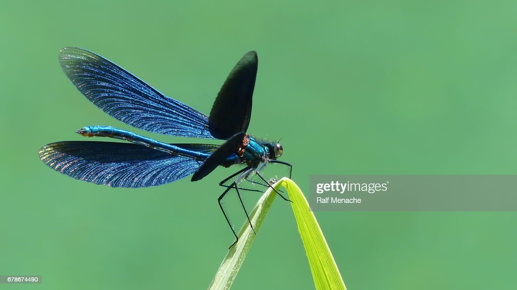 Beautiful opend Blue-winged Demoiselle Calopteryx virgo Dragonfly. : Stock Photo