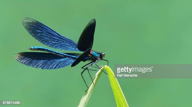 Beautiful opend Blue-winged Demoiselle Calopteryx virgo Dragonfly.