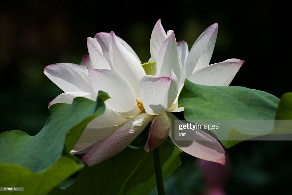 Beautiful Opening Pink Sacred Lotus Flower Leaves With Sun Ray Stock