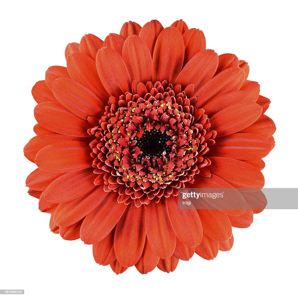 Beautiful Orange Gerbera Flower Isolated on White : Bildbanksbilder