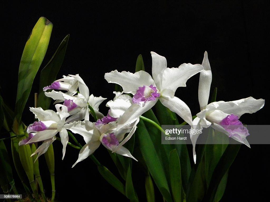 美しい蘭 : ストックフォト