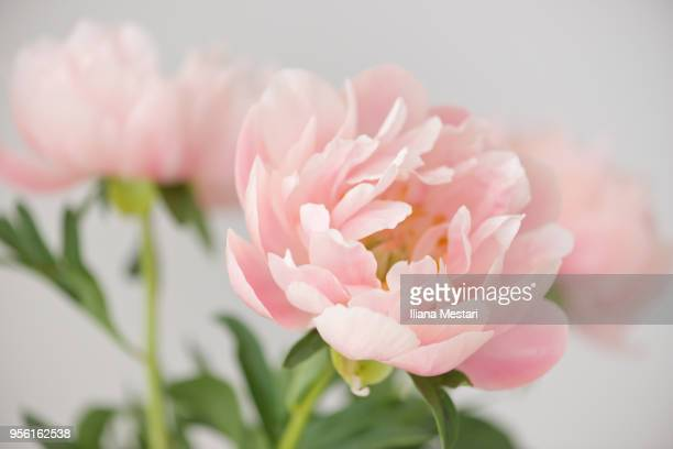 beautiful pale pink peony bouquet - peony stock pictures, royalty-free photos & images