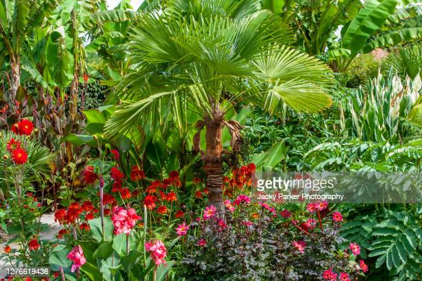 beautiful palm tree trachycarpus fortunei (chusan palm tree) planted with coneflowers and dahlias in a summer garden - palm tree stock pictures, royalty-free photos & images