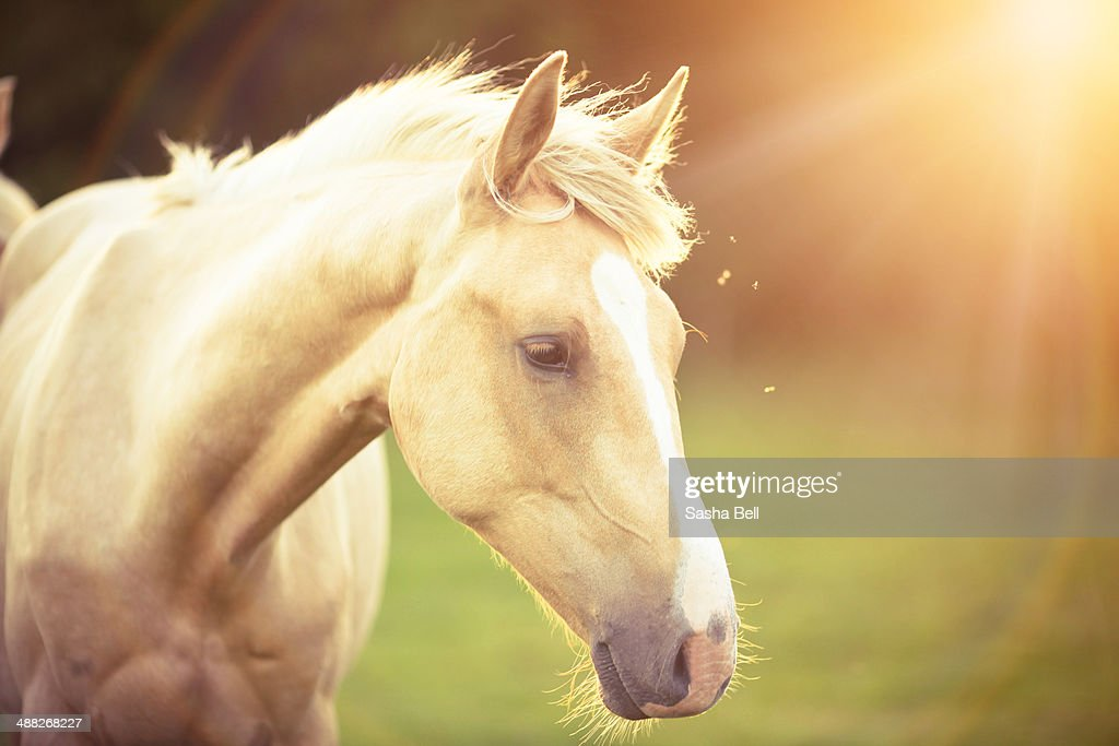 Beautiful Palomino Horse High Res Stock Photo Getty Images