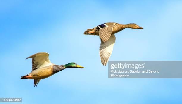 beautiful panorama of ducks in flight against bright blue sky - 動物の親子 ストックフォトと画像