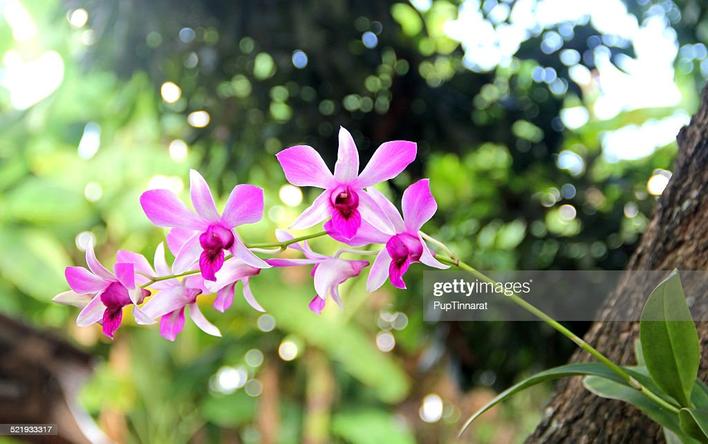 parasitic orchid