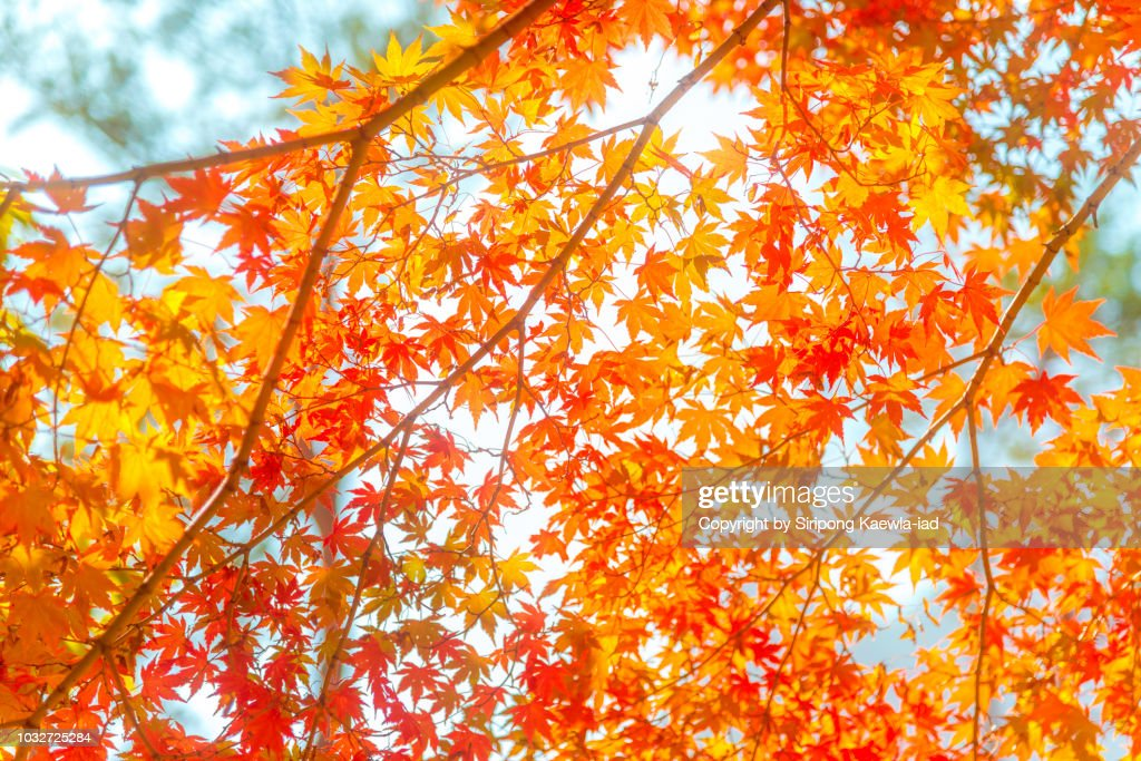 Beautiful pattern of illuminated red-orange color of maple leaves. : Stock Photo