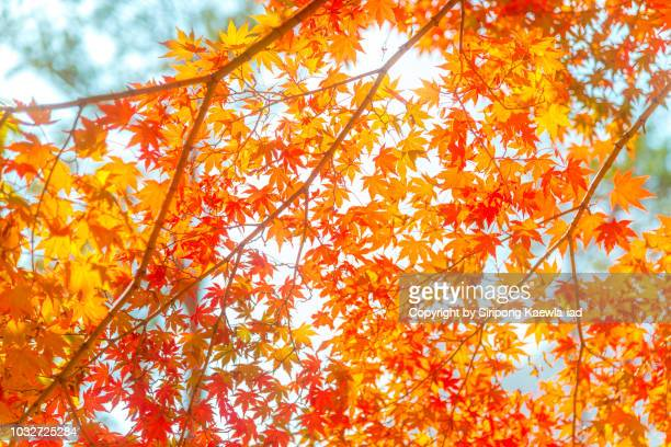 Beautiful pattern of illuminated red-orange color of maple leaves.