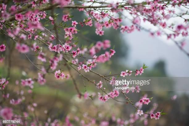 Beautiful peach flowers