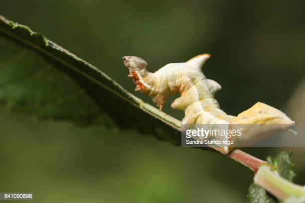 a beautiful pebble prominent moth caterpillar (notodonta ziczac) feeding on a willow leaf. - hertford hertfordshire stockfoto's en -beelden