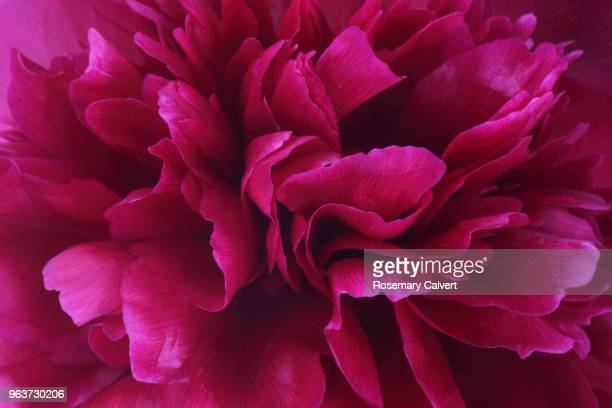 vibrant deep pink petals at centre of peony flower. - peony stock pictures, royalty-free photos & images
