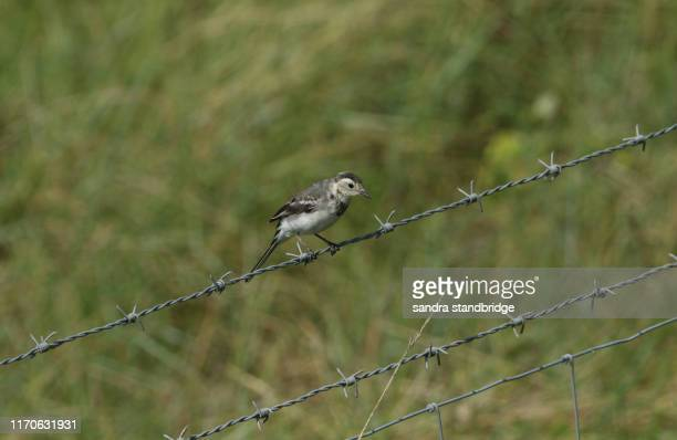 a beautiful pied wagtail (motacilla alba) perching on a barbed wire fence. - セキレイ ストックフォトと画像