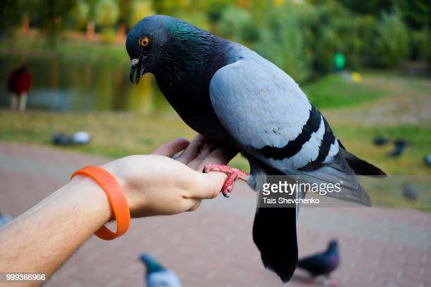 Beautiful pigeon are sits calmly on the hand of ma