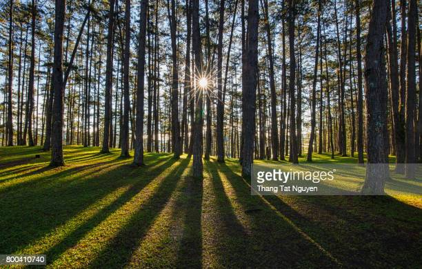 Beautiful pine forest in sunlight