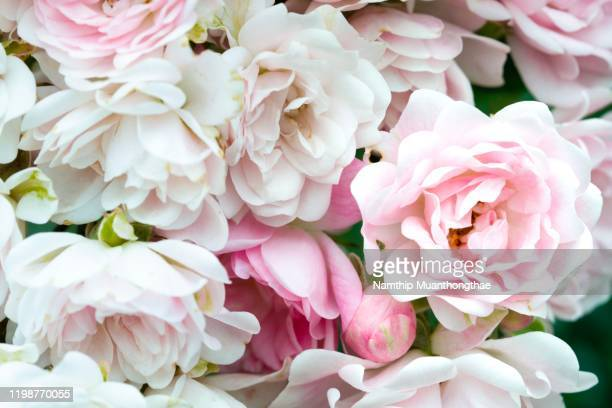beautiful pink and white rose in the green garden makes people feel bright and relaxing, rose is the sign of love in weddings day and valentine's day for making the lover couples happy. - valentine' day stock pictures, royalty-free photos & images