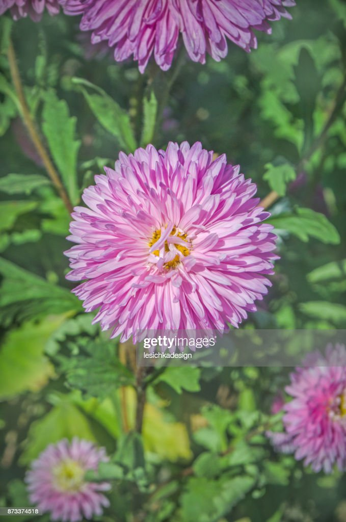Beautiful Pink Aster Flower Autumn Flowers In The Garden Stock Photo