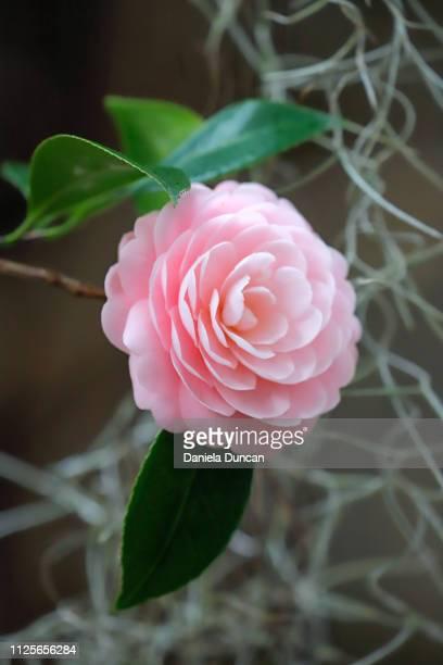 beautiful pink camellia in bloom - musgo español fotografías e imágenes de stock