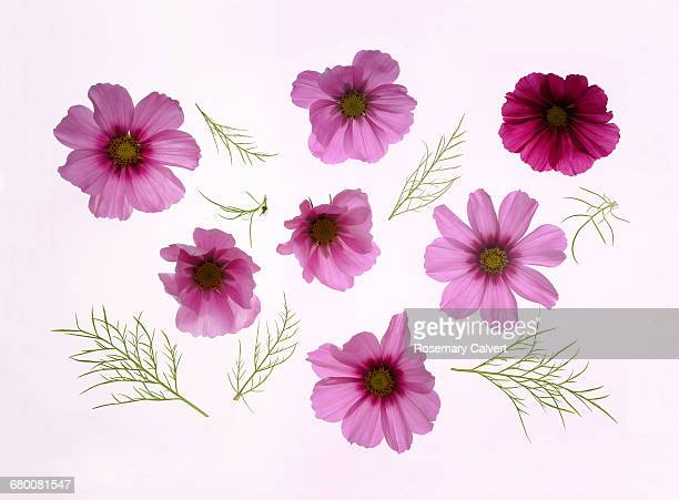 Beautiful pink cosmos flowers with leaves.
