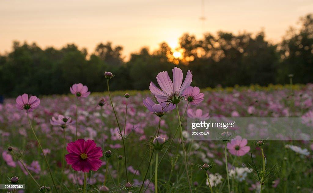Beautiful pink flowers and sunset : Stock Photo