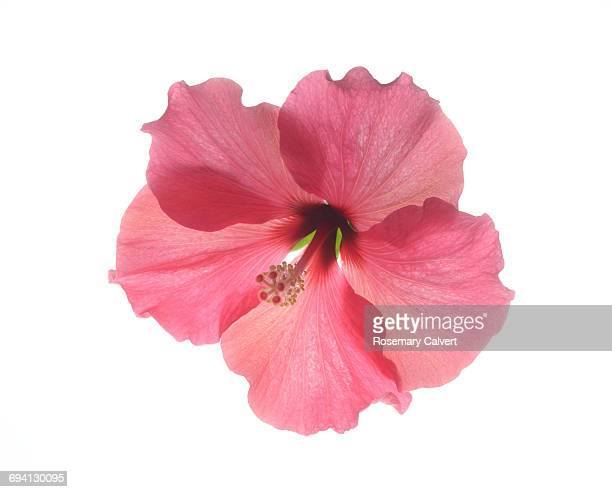 beautiful pink hibiscus flower on white. - tropical flower stock photos and pictures