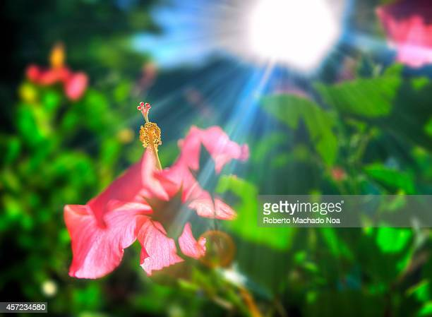Beautiful pink hibiscus or mar pacifico flower in the intense light of the morning sun