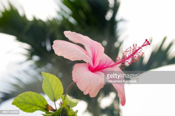 Beautiful pink hibiscus tropical flower.