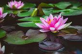 beautiful pink lotus flower.