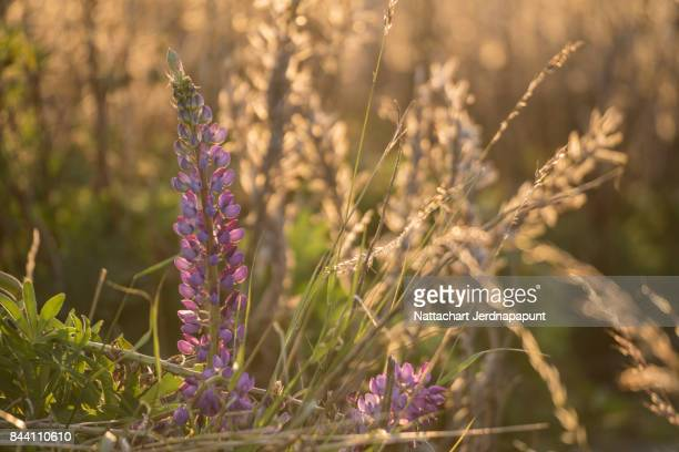 Beautiful pink lupine with gold nature background