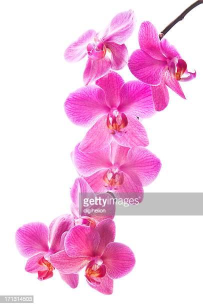 Schöne Rosa Orchideen auf Weiß