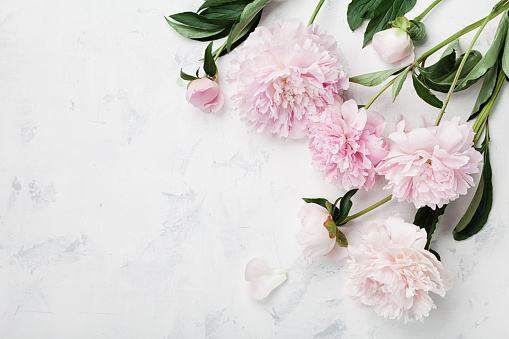 Beautiful pink peony flowers on white table with copy space for your text top view. Flat lay. 806870408