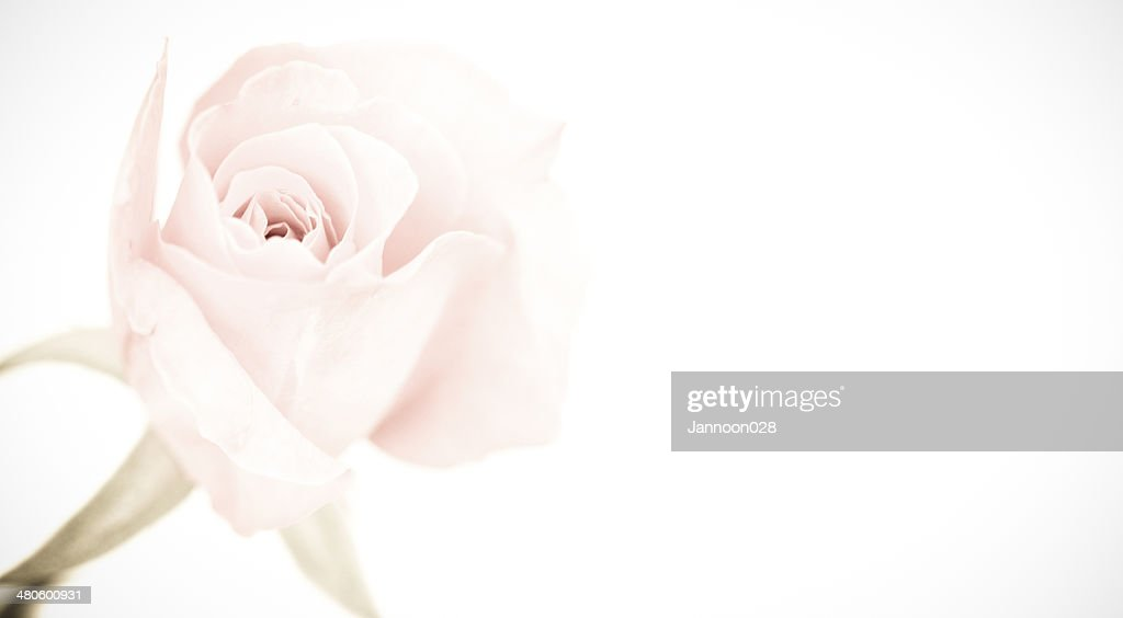 Beautiful pink rose isolated on white background : Stock Photo