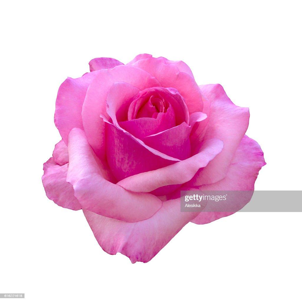 beautiful pink rose : Stock Photo