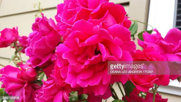 beautiful pink roses are growing in the garden - nautre stock pictures, royalty-free photos & images