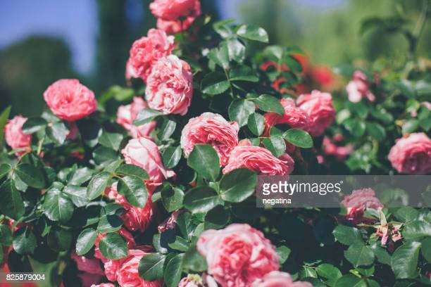 beautiful pink roses in summer garden - flowering plant stock pictures, royalty-free photos & images