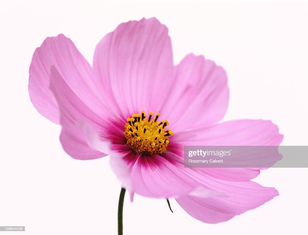 Beautiful pink, soft focus cosmos flower. : Bildbanksbilder