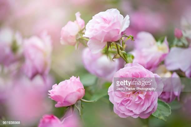 "beautiful pink summer flowers of rosa ""hyde hall"" rose - rosa stock-fotos und bilder"