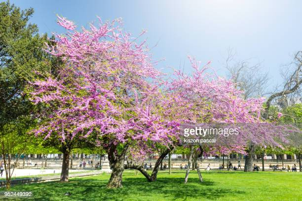 beautiful pink tree in Tuillerie park in Paris during a spring day , France