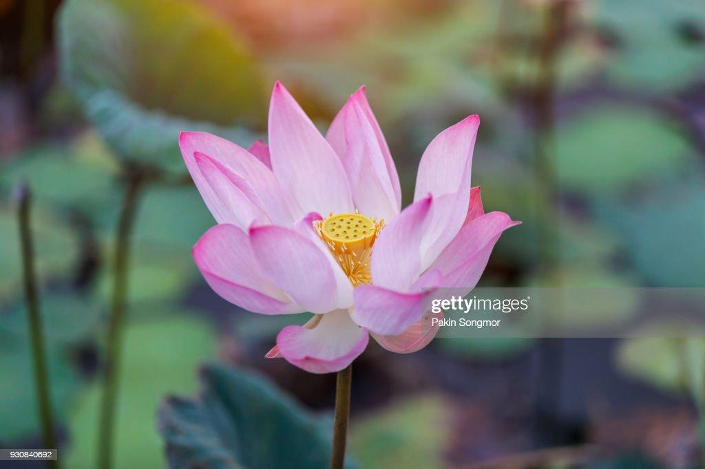 Beautiful pink waterlily or lotus flower in pond stock photo getty beautiful pink waterlily or lotus flower in pond stock photo mightylinksfo
