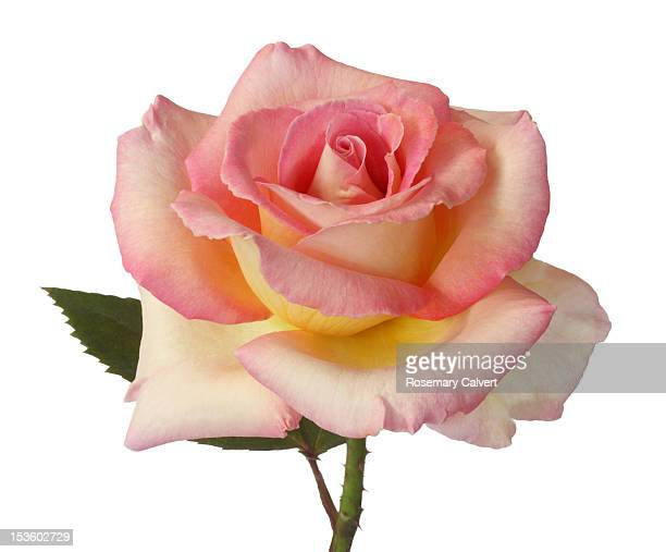 beautiful pink & yellow rose, delicate & fragrant. - single rose stock photos and pictures