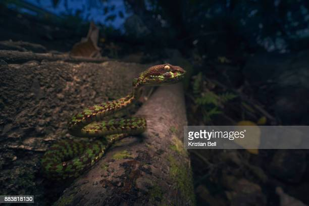 Beautiful pit viper (Trimeresurus venustus) on roadside embankment in Thailand