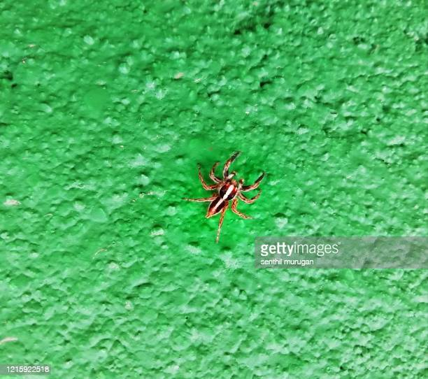 beautiful plexippus paykulli spider on green background - ncaa stock pictures, royalty-free photos & images