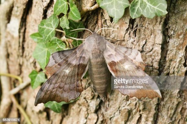 A beautiful Poplar Hawk-moth (Laothoe populi) perched on a tree.